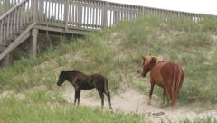 wild horses graze dunes outer banks nc - stock footage