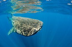 Whale Shark (Rhincodon typus) Kuvituskuvat