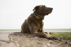 Stock Photo of Chocolate Labrador looking away