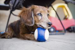 Long-haired Dachshund with ball - stock photo