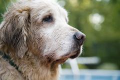 Stock Photo of Senior dog looking away