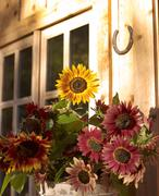 USA, Colorado, Sunflowers flowering in flower pot - stock photo