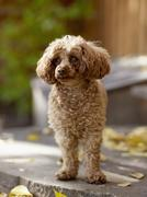 USA, Colorado, Poodle looking away - stock photo
