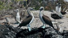 Blue footed Booby bird on Galapagos Islands 4 Stock Footage