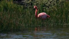 Pink flamingos in grass Island Galapagos Stock Footage