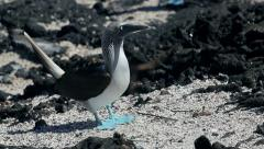 Blue footed Booby bird on Galapagos Islands 3 - stock footage
