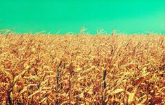Drought damaged cornfield: poorly developed cornstalks show the effects of pr Stock Photos