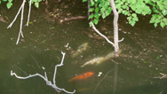 Stock Video Footage of many color carps chase courtship underwater