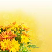 Chrysanthemum floral background Stock Photos