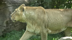 Asiatic lion walking in undergrowth Stock Footage