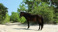 Wild stallion on road way carova beach outer banks nc Stock Footage