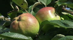 European apple tree with fruit, pair of green apples with red blush Stock Footage