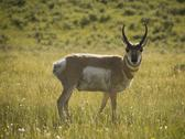 Stock Photo of Pronghorn (Antilocapra americana) on grassy field