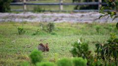Wild rabbit outer banks nc 2 Stock Footage
