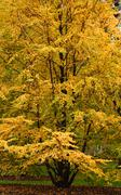 elm tree showing its beautiful autumn colors - stock photo