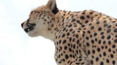 Close Up of Cheetah  (HD) Stock Footage