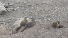 Nature, marmots on dirt mound one goes away Stock Footage