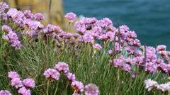 Thrift (Armeria maritima) on a cliff top Stock Footage