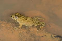 Agile frog, rana dalmatina Stock Photos
