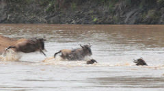 Wildebeest Crossing Mara River Stock Footage