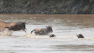 Stock Video Footage of Wildebeest Crossing Mara River