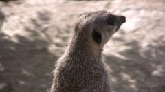 Meerkat standing erect close up Stock Footage