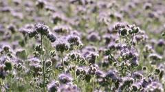 Phacelia Flowers Stock Footage