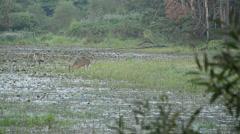 Whitetail deer doe. Stock Footage