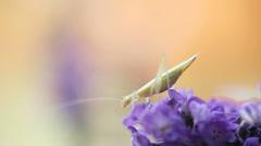 Tiny katydid on lavender flower Stock Footage
