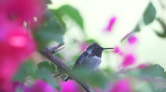 Hummingbird calls from bougainvillea plant Stock Footage