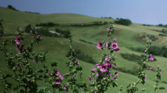 Purple Pink Flowers in Tuscany - 29,97FPS NTSC Stock Footage