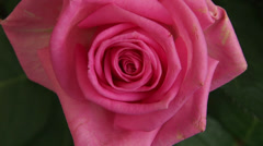 English rose Stock Footage