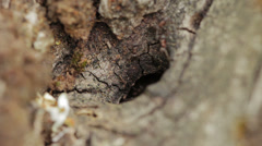 Ant in an olive tree, anthill, ant heap, formicary Stock Footage