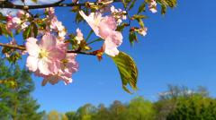 Blossoming sakura. Stock Footage