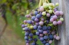 USA, Vermont, Woodstock, Bunch of unripe grapes Stock Photos