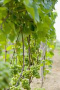 USA, Vermont, Woodstock, Grapes growing in vineyard Stock Photos