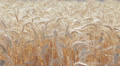 wheat field and painter who paints, change of focus HD Footage