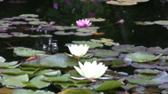 Stock Video Footage of Water lilies