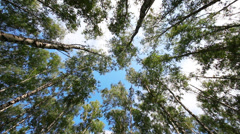 Tops of summer birch trees Stock Footage