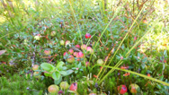 Stock Video Footage of red cranberry berries on a bog crop in the nature
