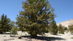 Pan of Ancient Bristlecone Pine Stock Footage