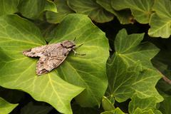 Grey moth on green leaves Stock Photos