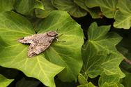 Stock Photo of grey moth on green leaves