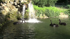 Three splendid black swans looking for food in the city park lake, waterfall Stock Footage