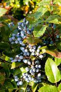 mahonia aquifolium evergreen shrubs, the genus mahonia - stock photo