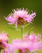 thistle flower - stock photo