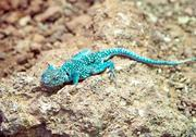 Stock Photo of blue rock agama
