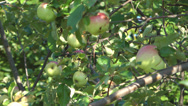 Stock Video Footage of Apples.