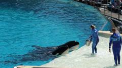 SeaWorld San Diego Killer Whales feeding no sound HD 8923 Stock Footage