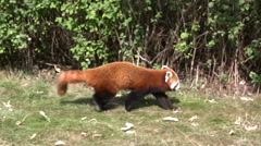 Red panda walking on grass Stock Footage